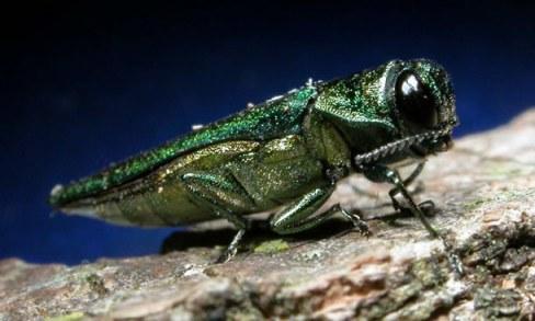 Image from www.emeraldashborer.info