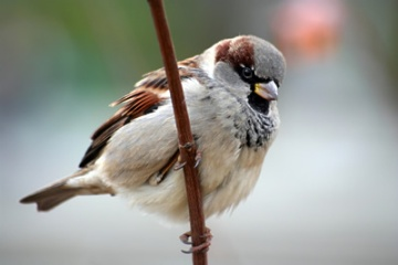Image from www.birdsofbritain.co.uk