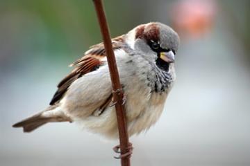 Image from www.birdsofbritain.co.uk